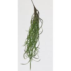 Morské riasy, 70cm